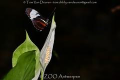 Sapho-langvleugel - Heliconius sapho - Sapho longwing (MrTDiddy) Tags: sapholangvleugel heliconius sapho longwing vlinder butterfly zooantwerpen antwerpzoo antwerpen zoo antwerp