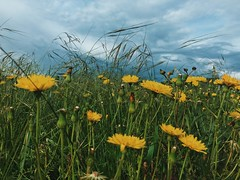 golden (ashleemdunlap) Tags: grass weeds flowers wildflower nature allergies outdoor outside camping travel storm weather wind sky clouds texasskies tx dallas frisco friscotx dallastx texas flora natural yellow gold golden green grasses iphone iphonex perspective