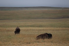 The only two buffaloes I saw in Badlands National Park (Hazboy) Tags: hazboy hazboy1 south dakota badlands national park parc west western usa us america april 2019