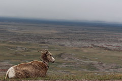 A resident to Badlands National Park, South Dakota (Hazboy) Tags: hazboy hazboy1 south dakota badlands national park parc west western usa us america april 2019