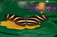 zebravlinder - Heliconius charitonius - Zebra Longwing (MrTDiddy) Tags: zebravlinder heliconius charitonius zebra longwing vlinder butterfly zooantwerpen antwerpzoo antwerpen zoo antwerp