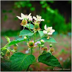 DSCF0152 (DrOpMaN®) Tags: darktable flowersplants fuji fujifilm fujinon korhankumral outdoor summer xe2 xc1650mmf3556ois m43turkiye