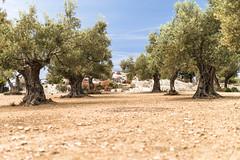 Miramar (janetfrerichs) Tags: urlaub mallorca spanien balearischeinseln mai2019 holiday nature 35mm landscape nikon terrace 35 viewpoint landschaft miramar olivetree d800 sigmaart