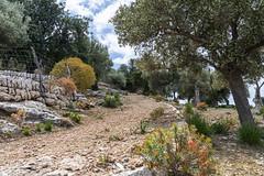Miramar (janetfrerichs) Tags: urlaub mallorca spanien balearischeinseln mai2019 holiday plant nature 35mm landscape daylight nikon terrace miramar olivetree balearen d800 mediterean sigmaart
