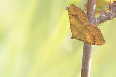 Yellow Shell (Alex Perry Wildlife Photography) Tags: camptogrammabilineata camptogramma yellowshell moth geometridae lepidoptera insect alexperry alexperryphotography alexperrywildlifephotography wildlifephotography macro macrophotography kent