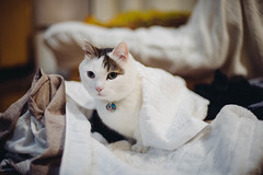 2019.6.10 : 24/365 (Nazra Z.) Tags: munchkin cat blanket laundry raw 2019 okayama japan animal pet white vscofilm ayearofjoys 365