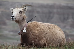 A big horn sheep in the Badlands National Park (Hazboy) Tags: hazboy hazboy1 south dakota badlands national park parc west western usa us america april 2019