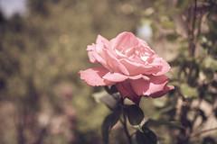 red rose (janetfrerichs) Tags: urlaub mallorca balearischeinseln mai2019 red flower nature rose garden fly spain nikon d800 desaturate entsättigt