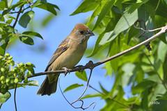 Blue Grosbeak (jt893x) Tags: 150600mm bird bluegrosbeak d500 female grosbeak jt893x nikon nikond500 passerinacaerulea sigma sigma150600mmf563dgoshsms songbird alittlebeauty coth thesunshinegroup coth5 sunrays5