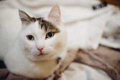 2019.6.10 (Nazra Z.) Tags: munchkin cat blanket laundry raw 2019 okayama japan animal pet white vscofilm