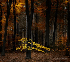 Come Fly With Me (keesvandongen) Tags: fall forest trees tree autumn beech colors