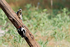 Greater Spotted Woodpeckers (Airwolfhound) Tags: rspbsandy rspb wildlife nature greaterspottedwoodpecker