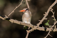 Буроголовая альциона, Halcyon albiventris prentissgrayi, Brown-hooded Kingfisher (Oleg Nomad) Tags: буроголоваяальциона halcyonalbiventrisprentissgrayi brownhoodedkingfisher птицы африка замбия зимородок bird aves africa zambia