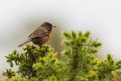 Dartford Warbler on the gorse (ejwwest) Tags: dorset rspb dartfordwarbler wildlife sylviaundata bird arne rspbarne jurassiccoast purbeck wareham england unitedkingdom