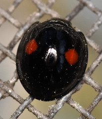 4.7 mm twice-stabbed lady beetle (ophis) Tags: coleoptera polyphaga cucujiformia coccinelloidea coccinellidae chilocorinae chilocorus chilocorusstigma twicestabbedladybeetle