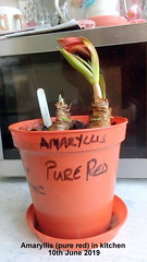 Amaryllis (pure red) in kitchen 10th June 2019 (D@viD_2.011) Tags: amaryllis pure red kitchen 10th june 2019