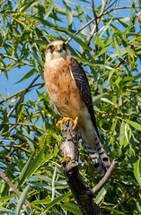 Red footed Falcon 2