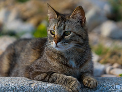 Lying stray cat (Toruko Photography) Tags: a7rii animals cat close colorful croatia cute face grass paws portrait stones stray