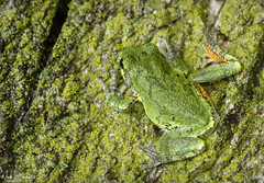 Gray Treefrog (Nick Scobel) Tags: gray green treefrog tree frog hyla versicolor amphibia toes toe pads skin coloration colorful camouflage