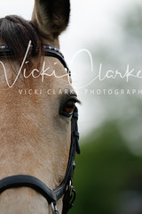 _MG_5680 (VickiClarkePhotography) Tags: canoneos70d horses nathudson mini mattingley hook xc cross country jumping eventing tamron 70200mm palomino buckskin dun