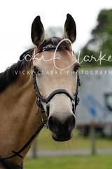 _MG_5679 (VickiClarkePhotography) Tags: canoneos70d horses nathudson mini mattingley hook xc cross country jumping eventing tamron 70200mm palomino buckskin dun