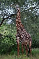 How many birds? (__Thomas Tassy__) Tags: girafe masai tarangire tanzania safari