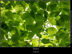 Verdure (Mario Groleau photo) Tags: mariogroleau troisrivieres quebec canada mgroleaucom green leaves leaf tree trees nicolet