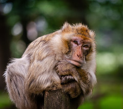 Magot - monkey business (Danyel B. Photography) Tags: monkey ape nature animal wild wildlife bokeh portrait sony eyes natur affe