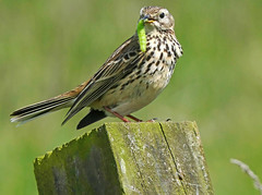 Meadow Pipit (eric robb niven) Tags: ericrobbniven scotland dundee meadow pipit springwatch cycling