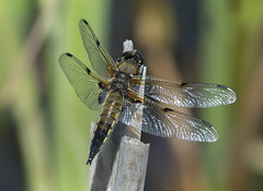 Four-spotted- Chaser (Stan Parrott) Tags: fourspottedchaser dragonflies