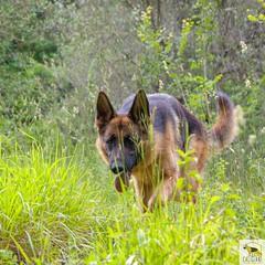 German Sherherd (Allevamento Casa Caligiani) Tags: germanshepherd pastoretedesco schäferhund gsd dog cane italia umbria bevagna natura