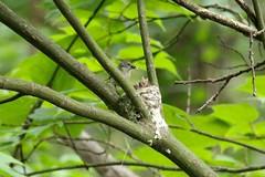 snack time (RonTheG) Tags: americanredstart bird warbler shenandoahnationalpark
