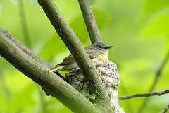 Nesting redstart (RonTheG) Tags: bird nest americanredstart shenandoahnationalpark