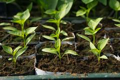 Seedlings (ieva.papina) Tags: plant plants garden seedling seedlings spring green