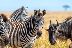Nice to meet you ;-) (Aline van Weert) Tags: 201808 alinevanweert kenia kenya masaimara safari wildlife zebra wildebeast gnoe migration greatmigration