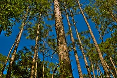Sky View Through Pines (surfcaster9) Tags: sky pines blue nature florida forest lumixg7 lumix20mmf17llasph outdoors