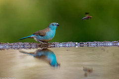 Blue Waxbill and the bug at the Mkhombe reflection hide in Zimanga (Lassetjus photo) Tags: zimanga fantasticnature nikon d850 reflectionhide waxbill bluewaxbill bug reflection water southafrica 2019