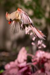 Cardinal (Scriblerus) Tags: northerncardinal femalecardinal cardinalinflight bird