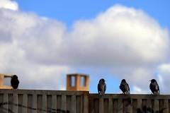 Picos (alfonsocarlospalencia) Tags: naranja negro segovia cuatro balconada cielo desenfoque nubes pájaros hormigón conversación colas rectángulos alineación chimeneas espaldas picos jeroglíficos atalaya paz bienestar