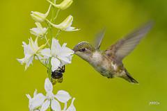 Ruby-throated Hummingbird (jt893x) Tags: 150600mm archilochuscolubris bif bird d500 female hummingbird jt893x nikon nikond500 rubythroatedhummingbird sigma sigma150600mmf563dgoshsms alittlebeauty coth thesunshinegroup sunrays5 coth5