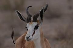 Springbock (Manuel-B) Tags: namibia nature africa etosha nationalpark wildlife canon eos 80d sigma 150600mm savanna