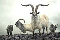 Raglan (recently promoted to Major) (PentlandPirate of the North) Tags: dinorwic mountain goats welsh feral wild snowdonia gwynedd dinorwig northwales