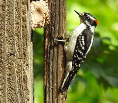 Downy Woodpecker - Male (annette.allor) Tags: bird woodpecker nature deck outdoors wildlife downy male