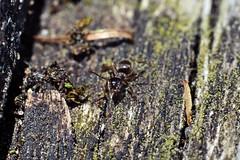 Tiny ant (JaaniicB) Tags: canon eos 77d macro extension tube tubes ant pants ants wildlife wild very small tiny 50mm f18