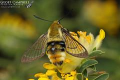 Narrow-bordered Bee Hawk-moth (Hemaris tityus) (gcampbellphoto) Tags: narrowbordered bee hawkmoth hemaris tityus moth insect gcampbellphoto macro nature wildlife north antrim
