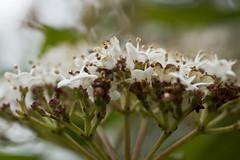 Burst of White (steve_whitmarsh) Tags: bokeh macro flowers white closeup nature plant topic abigfave