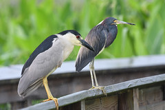 Herons (ehsimons) Tags: blackcrownednightheron nycticoraxnycticorax tricoloredheron egrettatricolor
