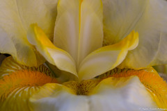 Au coeur de l Iris (Elyane11) Tags: fleur iris jardin jaune coeur macro