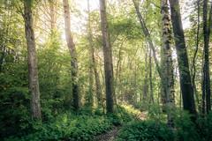 Runebergin lähteellä (Olli Tasso) Tags: metsä forest summer kesä kesäinen puut trees kasvillisuus flora metsikkö luonnonsuojelualue conservationarea nature luonto luontokuva outdoors landscape maisema metsämaisema ruovesi suomi finland polku path sunshine auringonpaiste backlight vastavalo woods