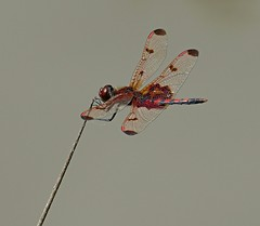 A Calico Pennant (Eat With Your Eyez) Tags: calico pennant dragonfly cooper hollow wildlife area cooperhollowwildlifearea jackson county ohio rio grande park outdoors nature bug insect dragonflies wing wings fly flying animal beautiful panasonic fz1000